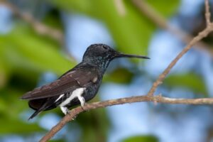 Hummingbirds set all kinds of records with their dives