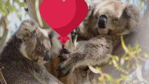 How koalas celebrate Valentine's Day