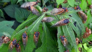 Brood X: Cicadas are coming in the billions this spring 2021