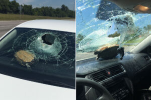 Woman cut in the head after turtle crashes through windshield
