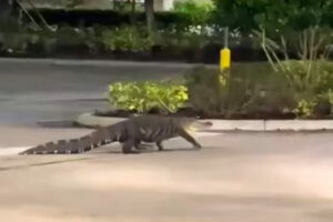 Alligator caught on camera taking stroll through parking lot