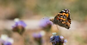 How rain in Africa drives a butterfly mass migration to Europe
