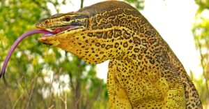 Monitor Lizards in Australia Dig Incredible Corkscrew Nests
